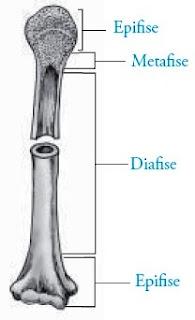 tulang pipa epifise metafise diafise