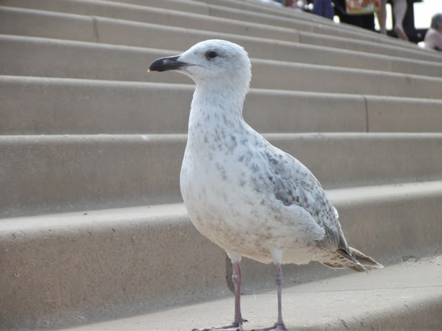 Young seagull Blackpool