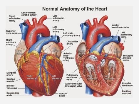 Heart on Anatomy Picture Internal Heart Anatomy Model