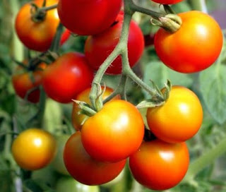 Olahan Produk Gres Tomat, Mensiasati Dikala Harga Tomat Jatuh