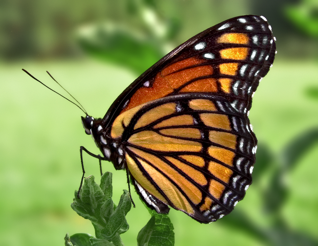 The Grapes of Goodness: Mystical Nature of Butterflies