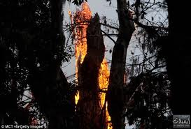 بالصور النيران تحرق شجرة عمرها 3500 عام