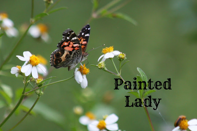 butterflies, butterfly, painted lady butterfly, florida butterfly