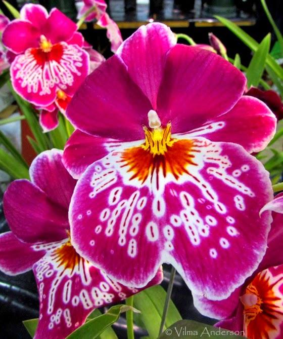 Pinkish Miltonias orchids