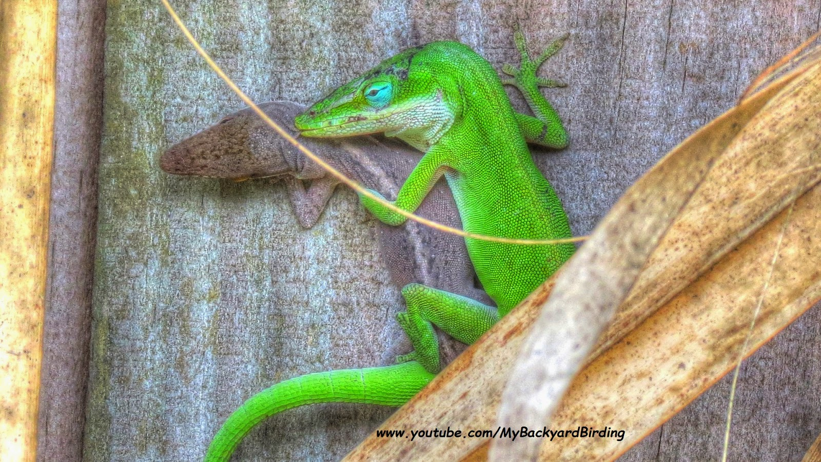 Green Anole Lizards Mating and Changing Color