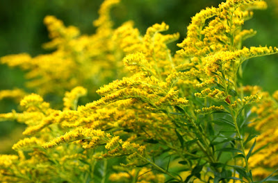 Goldenrod (Solidago virgaurea or Solidago canadensis) Overview, Health Benefits, Side effects
