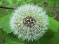 Dandelion Photos and Pictures 16