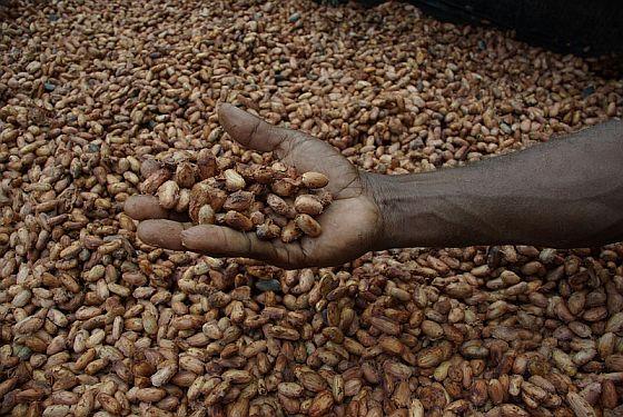 Suszenie ziaren kakaowca
