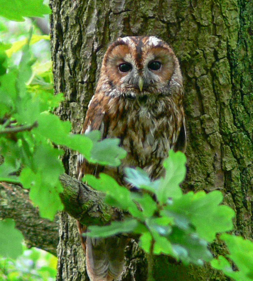 Tawny Owl All About Owl
