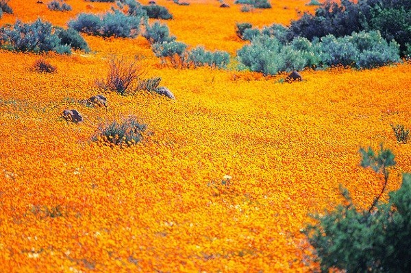 Daisies field Namaqualand,South Africa's