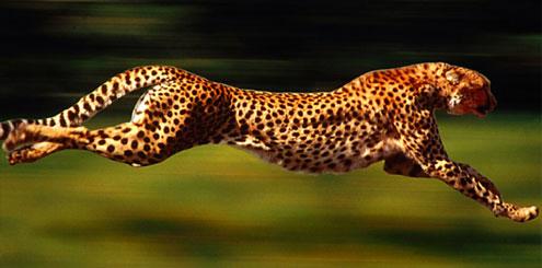snabbaste djuret