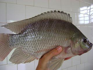 Como saber se o peixe está bom para consumo