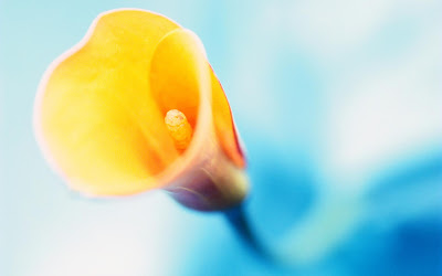 yellow calla hd wallpaper