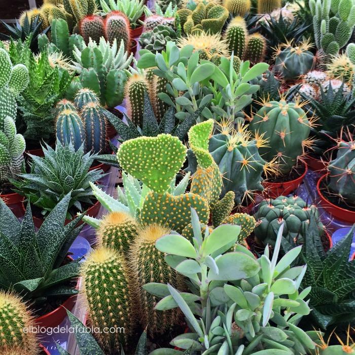 Cactus y suculentas si t me dices ven for Cactus y suculentas