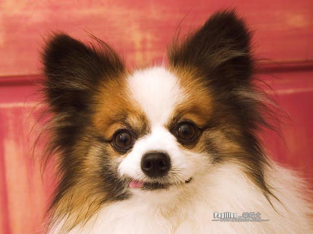 ... --papillon-dog-wallpapers--big-ears-papillon-dog-wallpaper-60069.jpg
