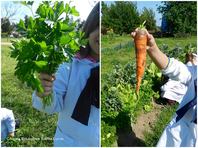 Cosechando perejil y zanahorias - Chacra Educativa Santa Lucía