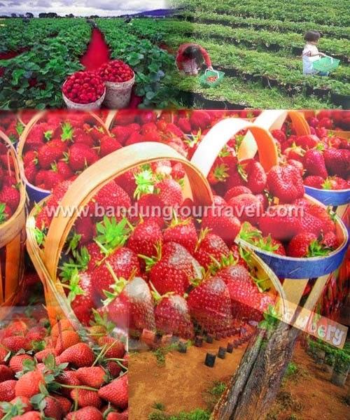 wisata petik strawberry ciwideuy, tour ciwideuy, obyek wisata ciwideuy bandung