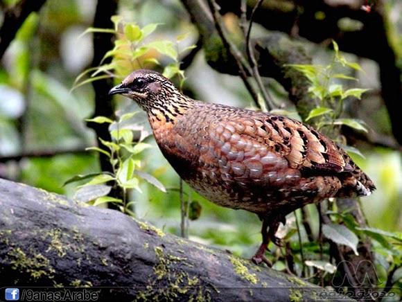 حجل سيتشوان توجد فقط  في الصين حيث تصنف على أنها من الحيوانات المحمية على المستوى الوطني. تعيش معظمها في مقاطعة سيتشوان الجنوبية، في جنوب غرب الصين. وتفضل الغابات المزروعة والكثيفة