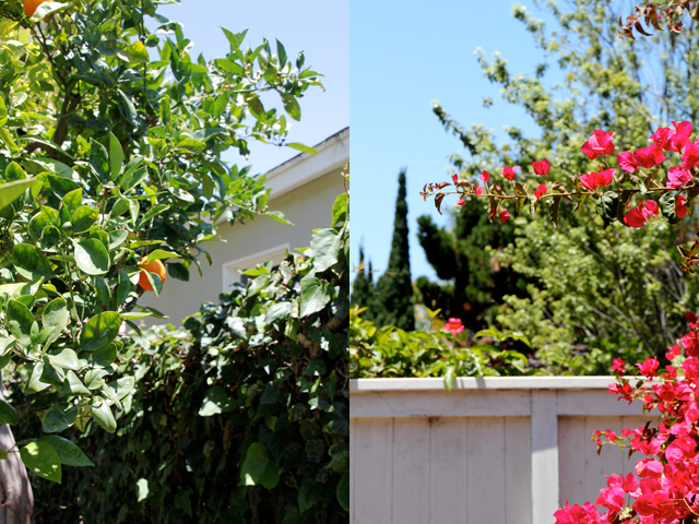 Orange Tree + Bougainvillea