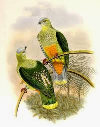 Silver capped fruit dove