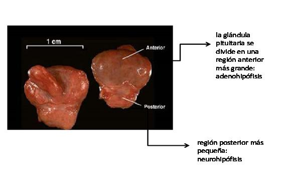 Sistema Endocrino: Glandula Pituitaria