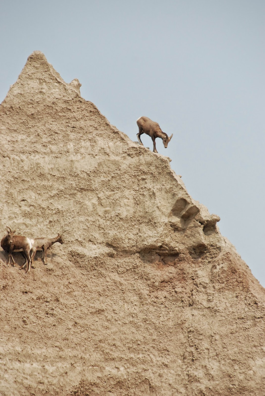 bighorn sheep, badlands