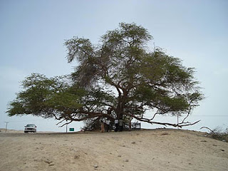 misteri pohon kehidupan ditengah gurun pasir