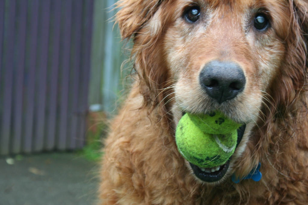 close up of a dark colored golden, mouth open with two yellow tennis balls inside, his eyes have white pupils due to cataracts