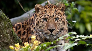 Leopardo-animales-en-peligro-de-extincion-salvajes-africa-video-fotos