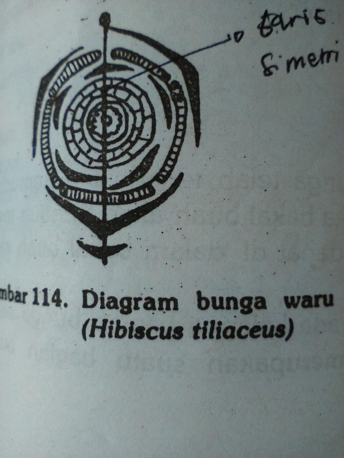 Morfologi tumbuhan 7 suku malvaceae misalnya kapas gossypium sp waru hibiscus tiliaceus ccuart Gallery