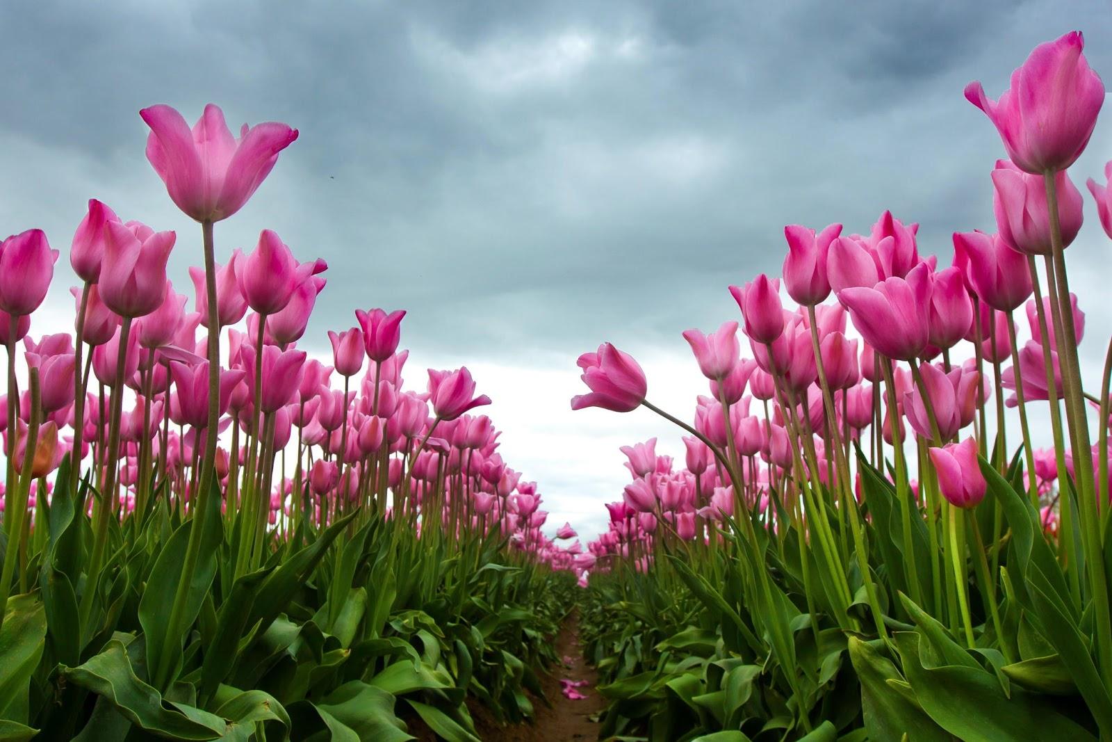 Banco de im genes gratis 30 fotos de tulipanes en varios - Para ver fotos ...