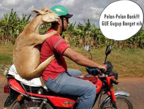 Goat with Man On Motorcycle
