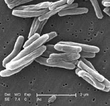 Mycobacterium tuberculosis penyebab TB