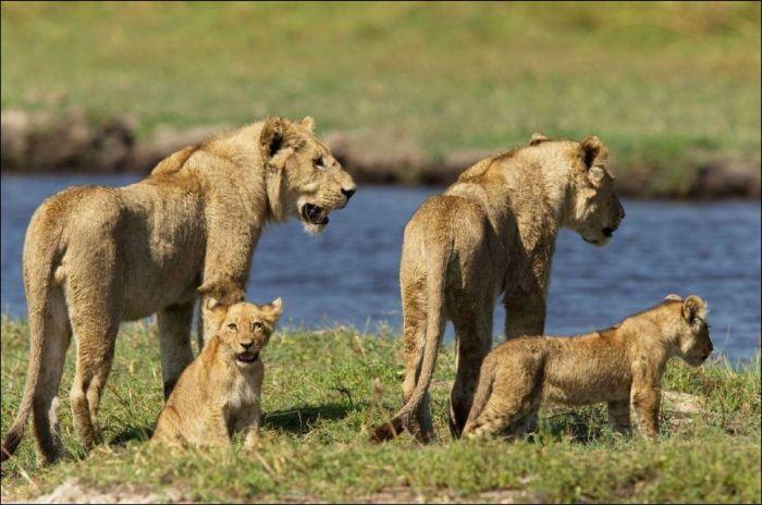 R Goats Good Pets Lion vs crocodile (11 ...