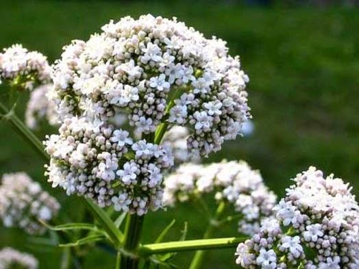remedios caseros valeriana y miel para dolor cabeza