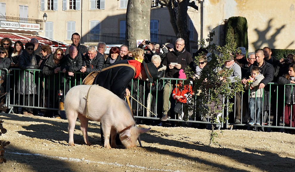 Pig hunting truffle at Aups festival