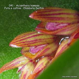 Pleurothallis hamosa