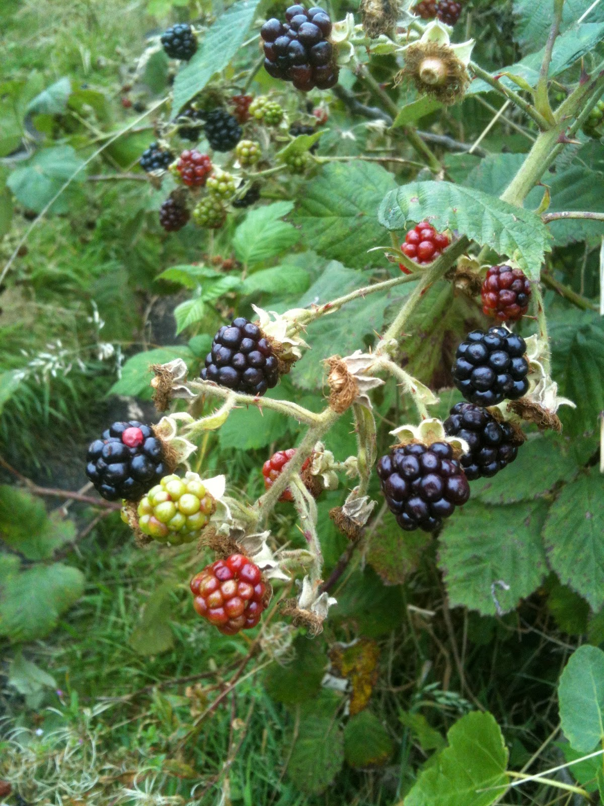 Growing blackberries.