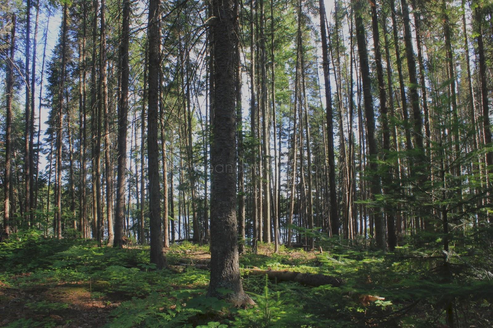 trees in algonquin provincial park, ontario canada