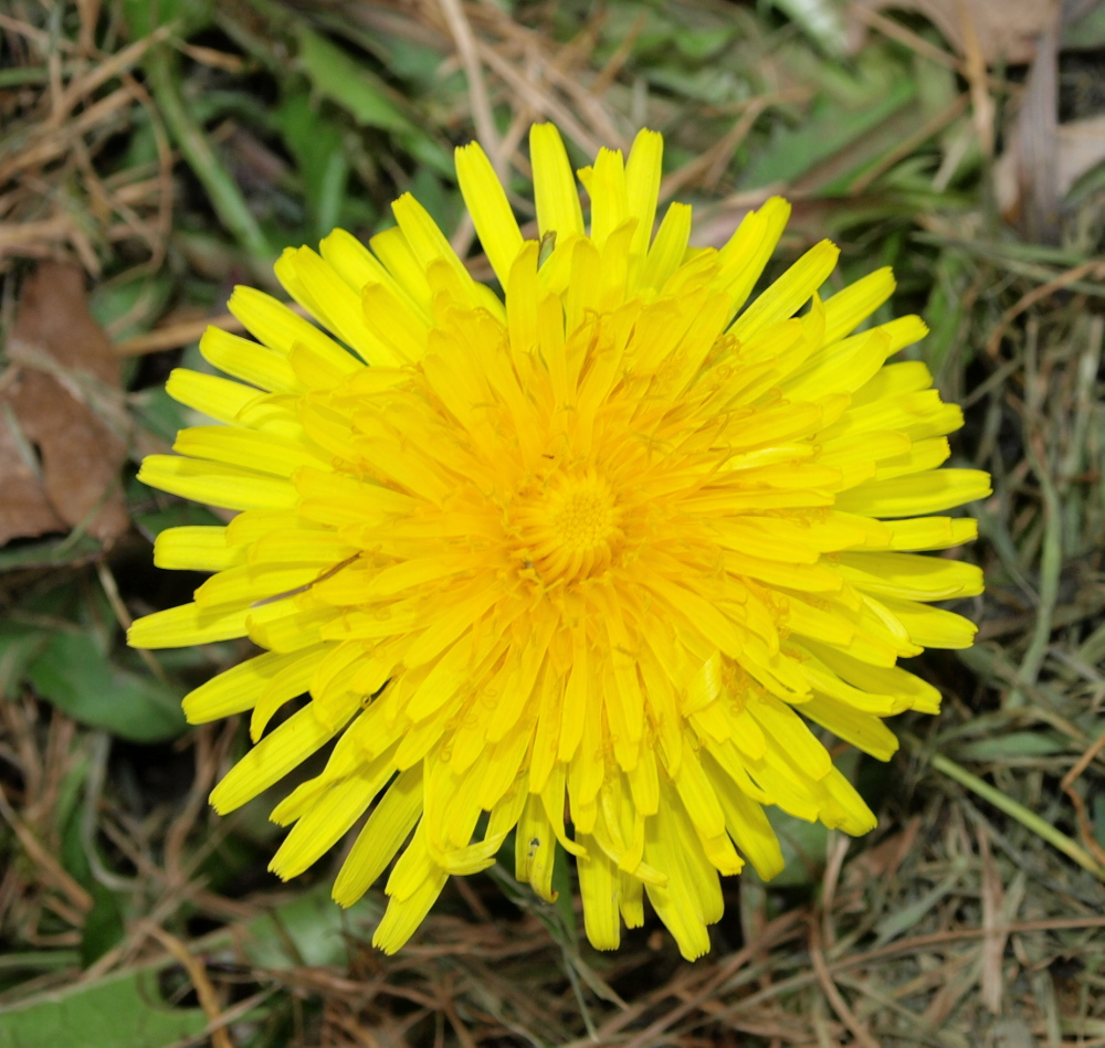 how to grow dandelions from seed