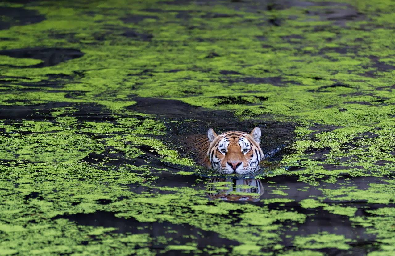 Wildlife Photos: Sumatran Tigers Swim