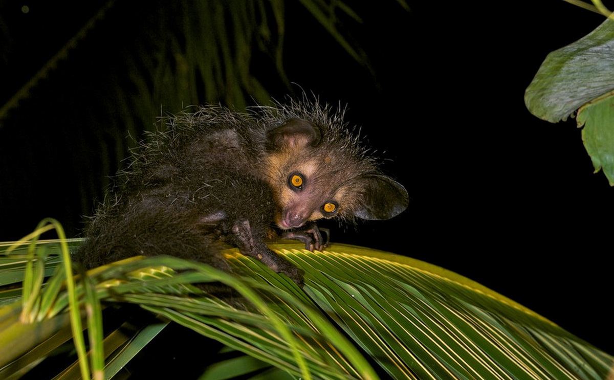aye aye The aye-aye (daubentonia madagascariensis) is one of the most unusual  primates on earth famed for its large eyes, big ears and bony finger.