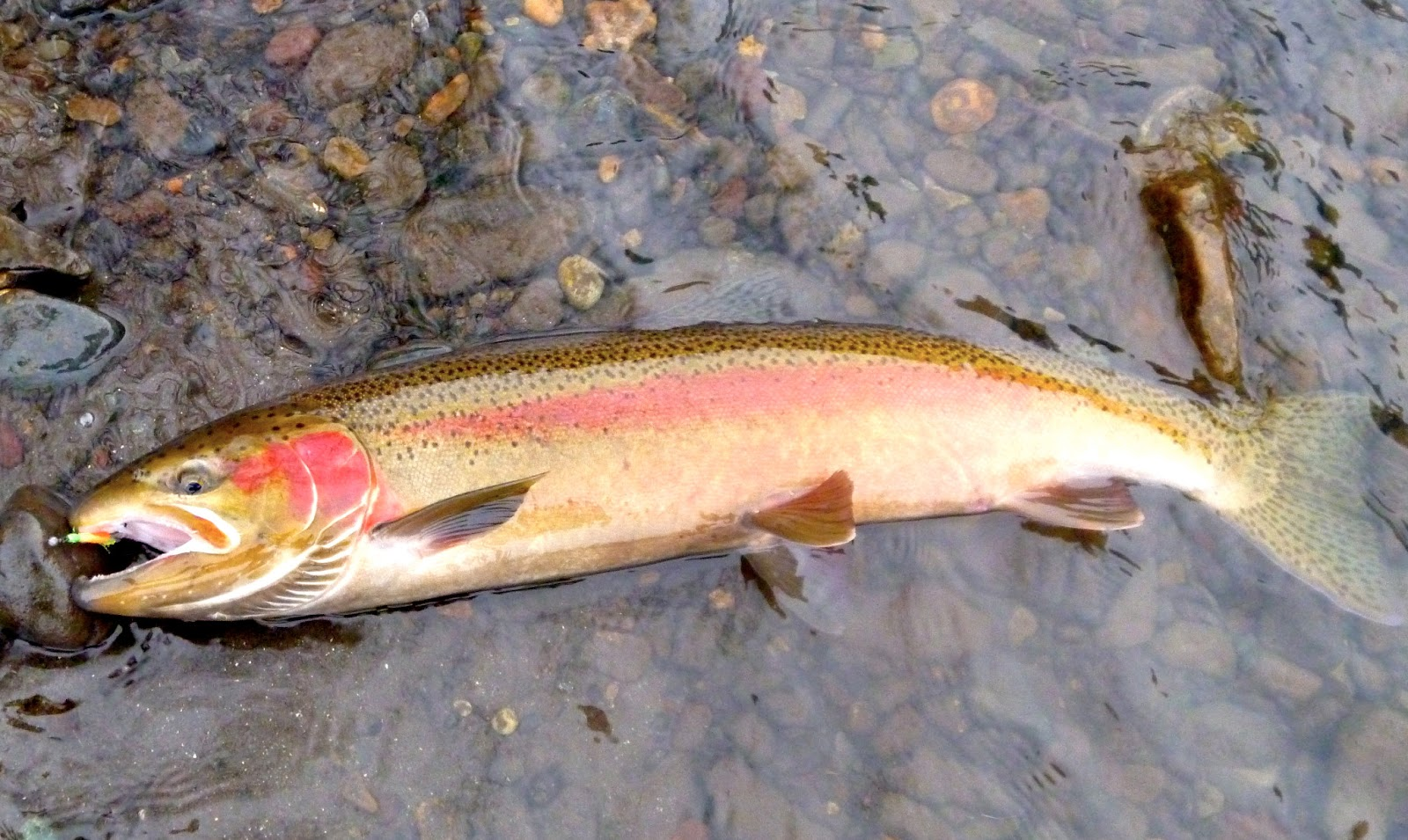 Catching Steelhead on the Wallowa and Grande Ronde - Winding Waters ...