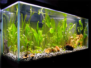 Fish n tips common fresh water fish diseases for Common freshwater aquarium fish