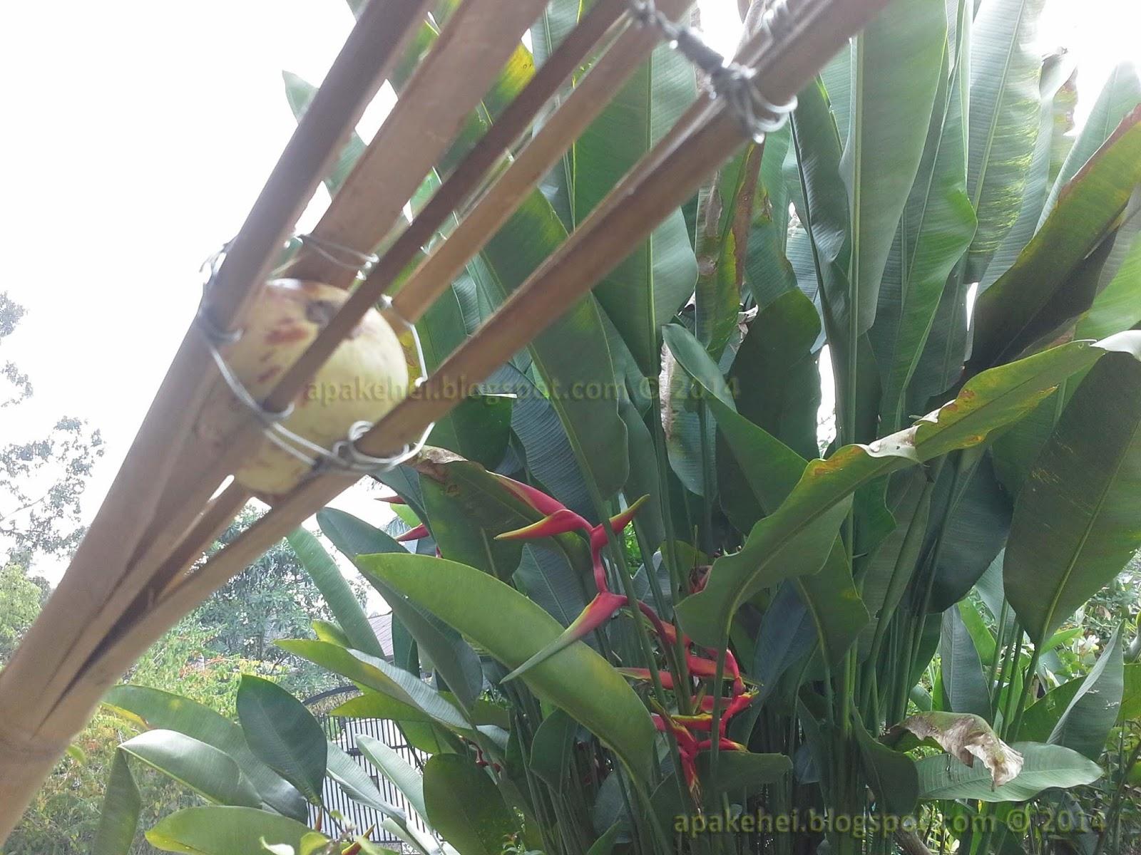 Jolok buah manggis