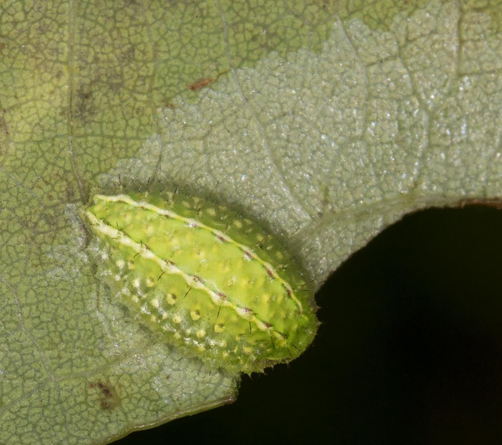 Larva of a Festoon, Apoda limacodes.  West Wickham Common, 14 September 2014.