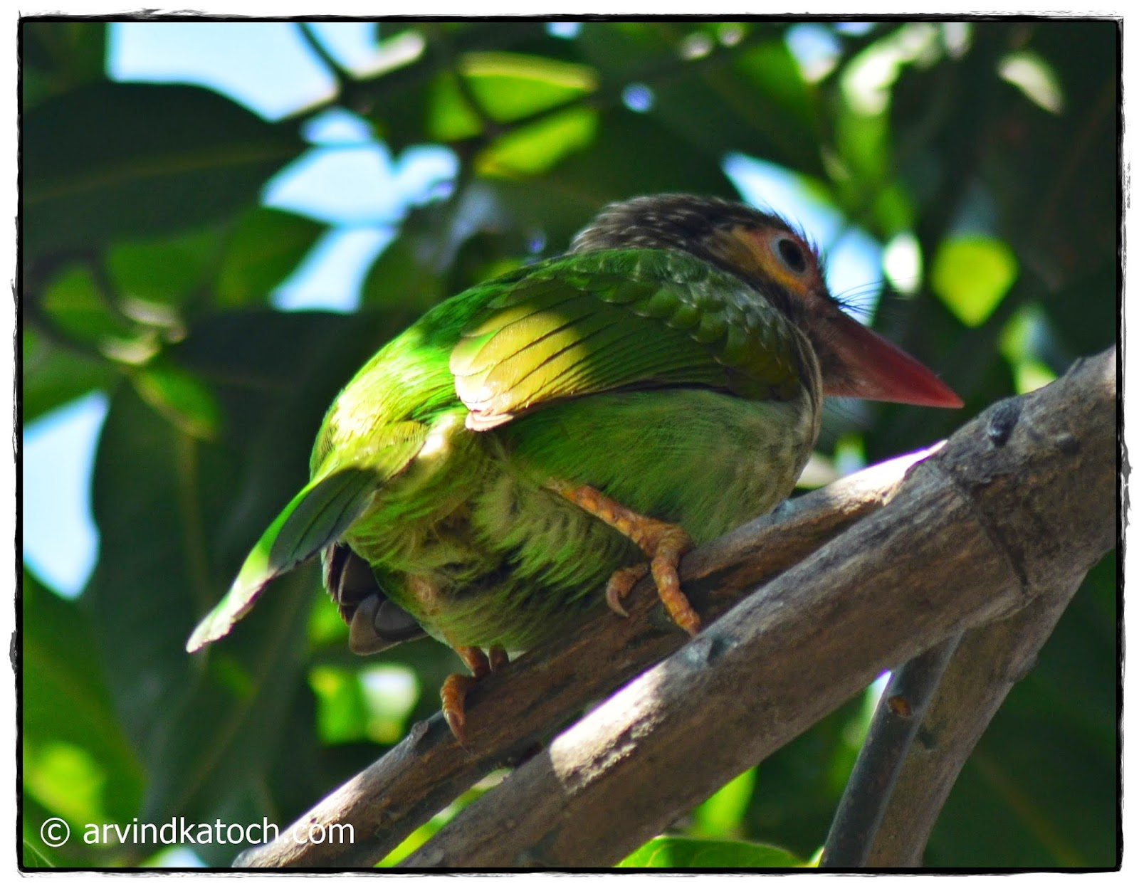 Brown-headed barbet, Back