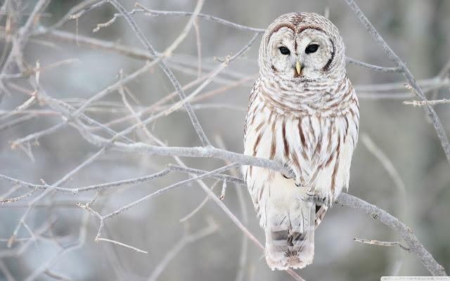 "<img src=""http://1.bp.blogspot.com/-bUiAWrgVa5A/Ud2t04QNAHI/AAAAAAAAAXs/cvqoUzAeiCc/s1600/white_owl-wide.jpg"" alt=""Birds wallpapers"" />"