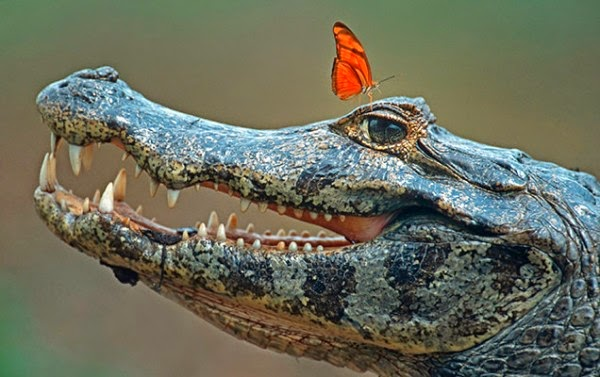 Butterflies Sip Crocodile Tears