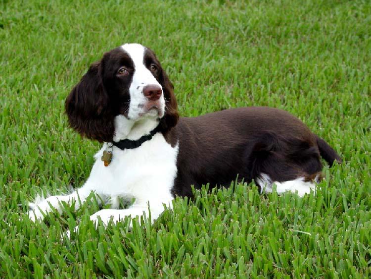 English Springer Spaniel Puppies Animal Pets Dog Wallpaper Dogs